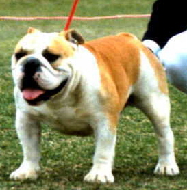 English bulldog : SA CH Clarendon Challenger of Kingrock