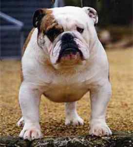 English bulldog : CH Wyecaple Good to Go