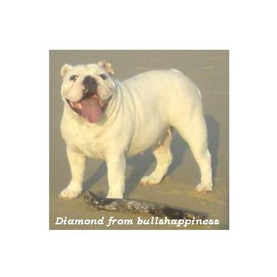 English bulldog : Diamond from bullshappiness