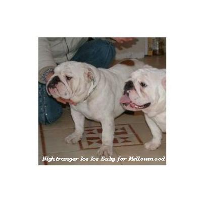 bulldog ou bouledogue anglais : Nightranger Ice Ice Baby for Mellowmood