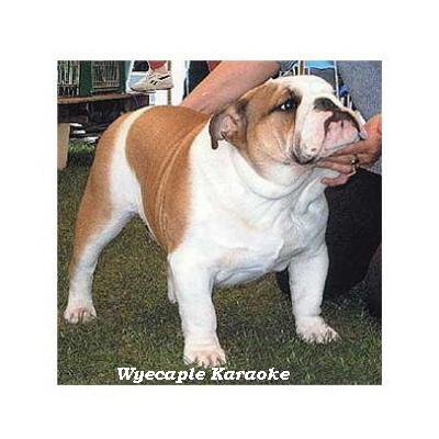 English bulldog : Wyecaple Karaoke