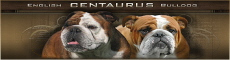 centaurus-English-bulldog-kennel English bulldog puppies in Poland ou Pologne